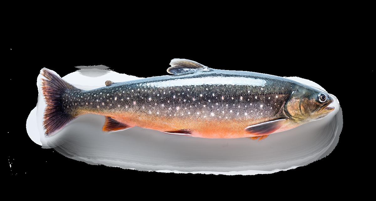 Gedämpfter Fisch mit Ingweröl